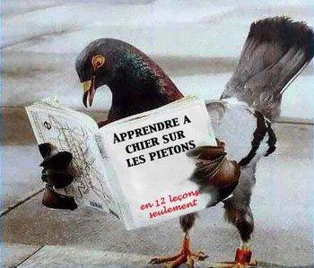 un pigeon intelligent