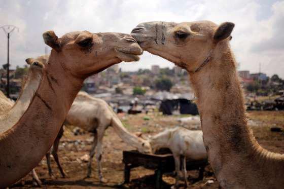 l'amour en chameau