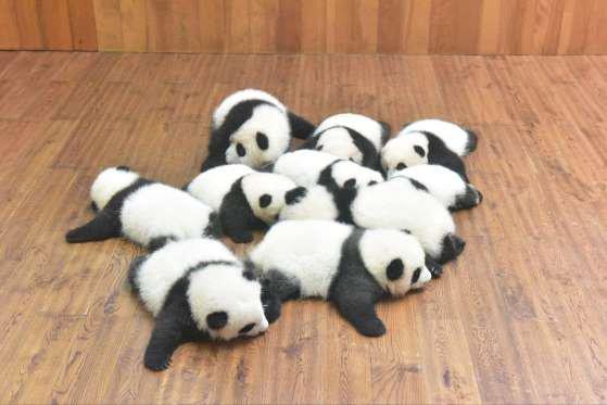 les bébés panda