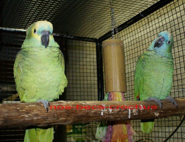 Voici mon couple d'Amazone à front bleu élevé main (Léon et Craquotte)