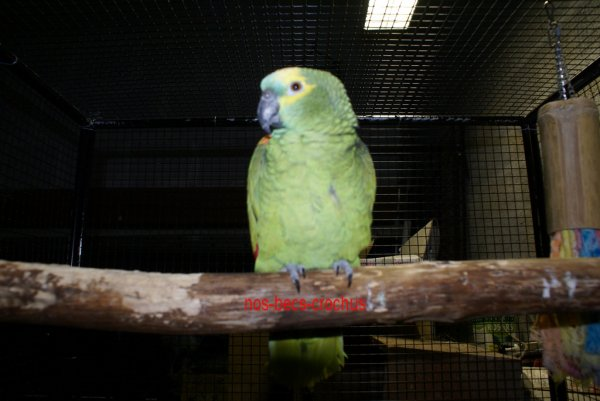 Léon mâle amazone à front bleu