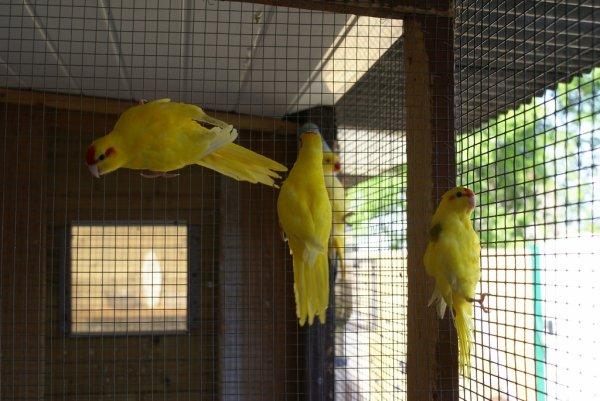 Jeunes Kakariki jaune à front rouge de l'année