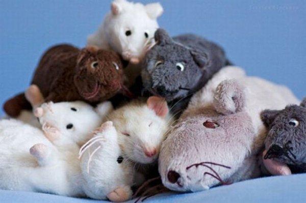 Les signes de joie de mon rat