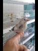 1er jeune chardonneret quitte le nid