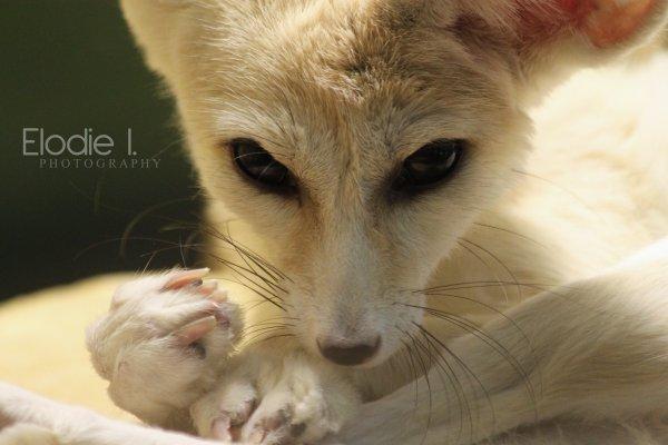 The fox of pocket  Derrière ce regard intriguant se cache un désert de mystères.