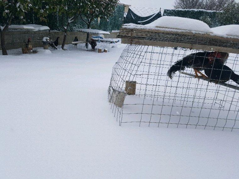 voila mes coq sous la neige