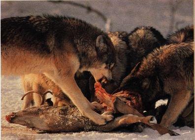"""""""L'homme est un loup pour l'homme"""" Hobbes"""