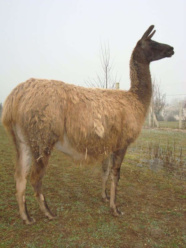 Nouvelles photos de mes lamas