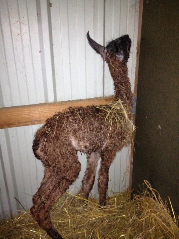 03 décembre 2012 naissance d'un lamateau