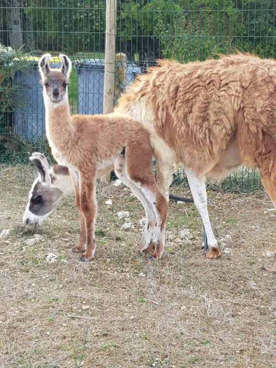 Av Lama femelle et son petit