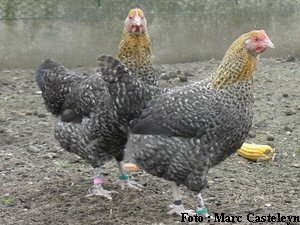 poule marans coucou dore