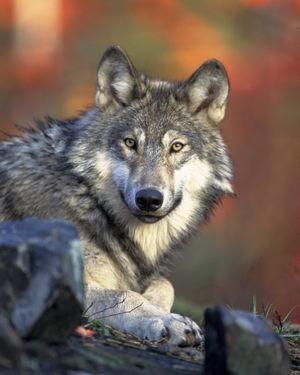 Le loup aussi malheureuement.......