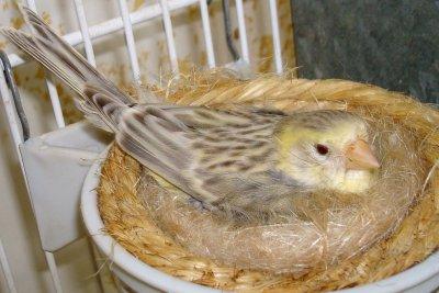 Agata topacio amarillo marfil en plena incubaci n - Modulos de canarios ...