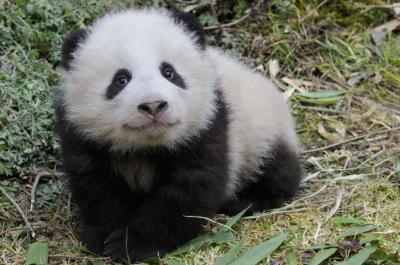 b b panda animals baby world. Black Bedroom Furniture Sets. Home Design Ideas