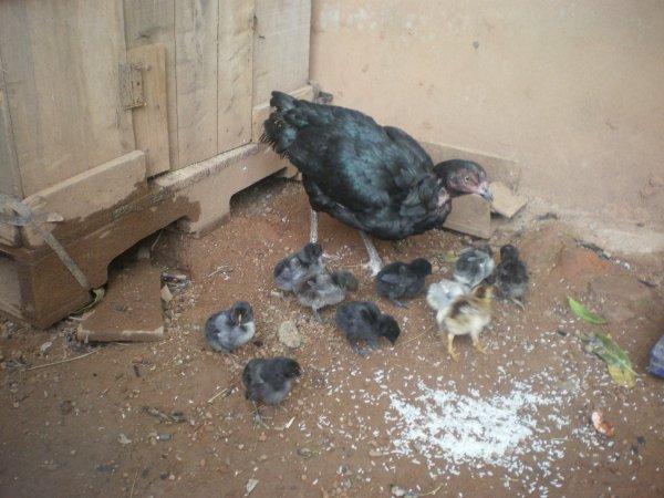 Tant attendu, les petits de Satiag et ma fodation poule noire