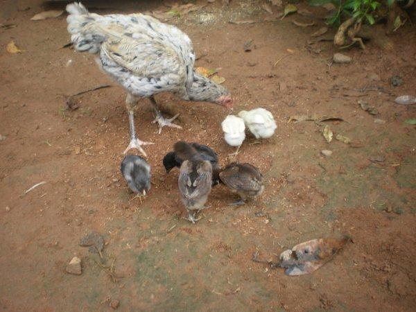 Poule thai