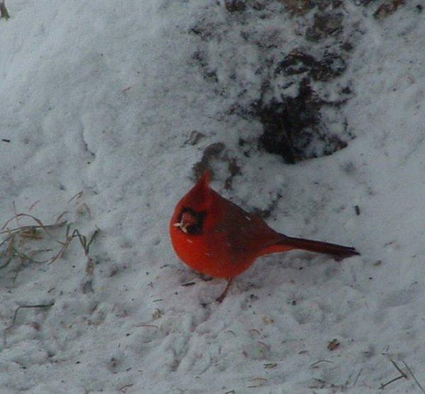 cardinals rouge