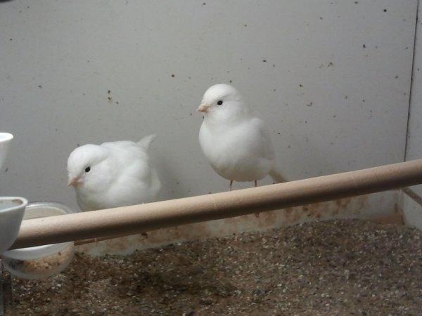 canaris blanc recessif