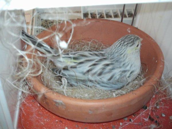 femelle topaze mosaique jaune au nid