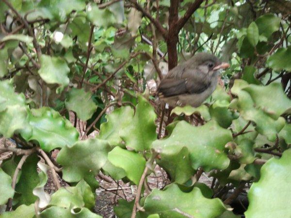 jeune rossignol du japon a la sortie du nid