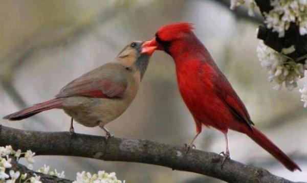 couple de  cardinal