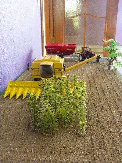 culture du maïs grains