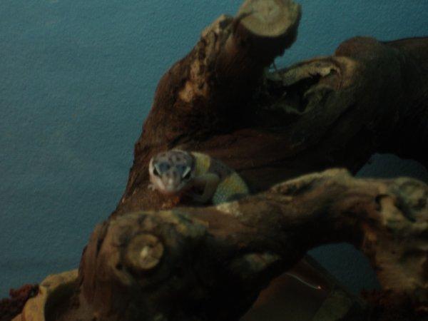 un des gecko que j'ai acheter aujourd huit