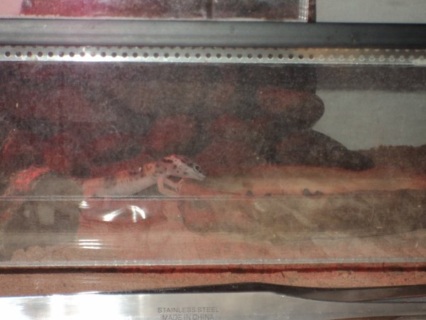 les gecko en plein repas