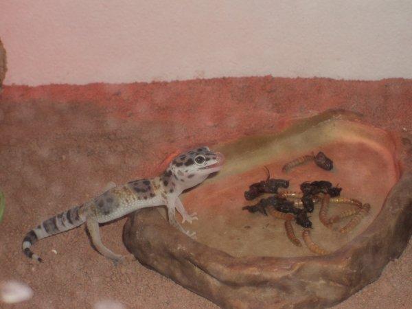 un des gecko qui ce régale