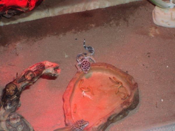 geckos en plein repas