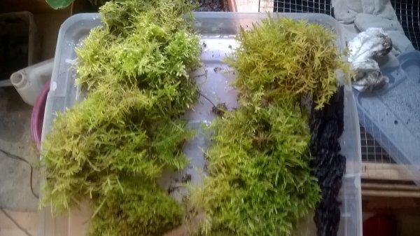 Refonte terrarium tribolonotus gracilis (mal 3/ femelle 12)