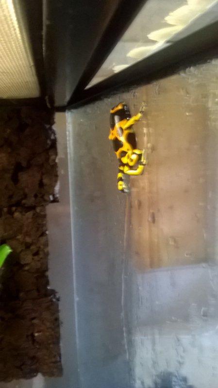 dendrobate leucomelas (1.1.0 = mal / femelle