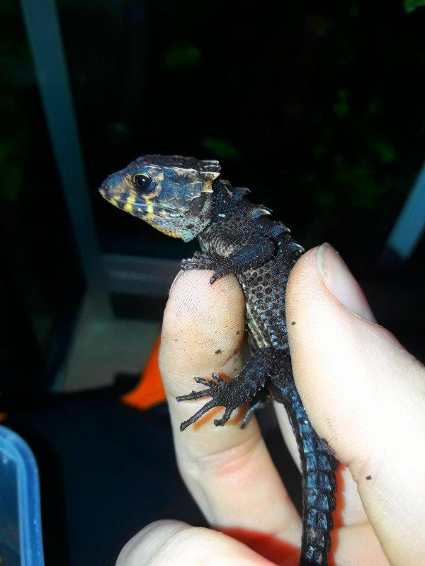 Mini t-Rex , 13 mois