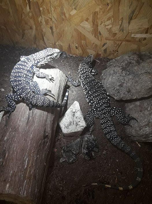 Misa et akasuki 2 femelles tupinambis merianae