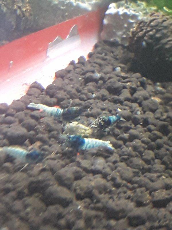 Crevettes Taitibee Blue