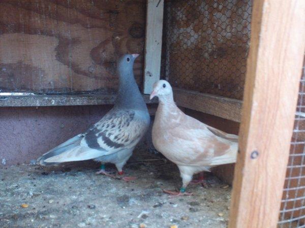 quelques pigeonnaux 2015
