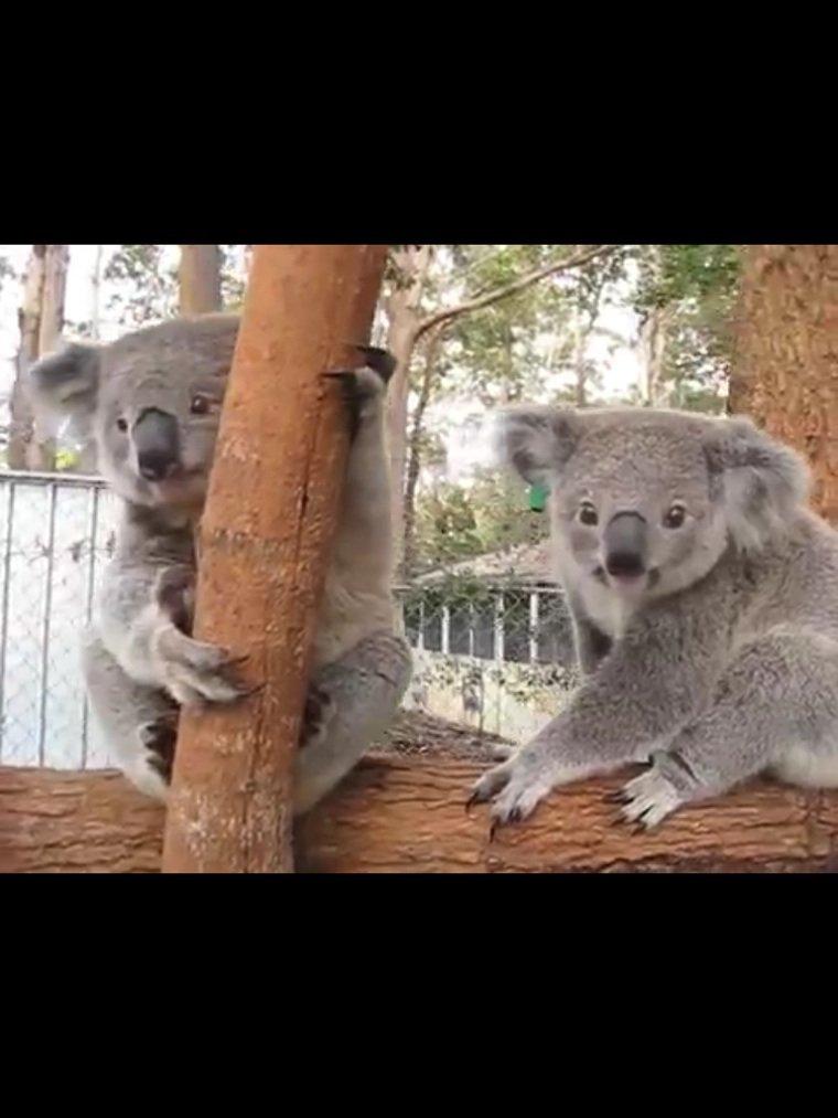 hot koala