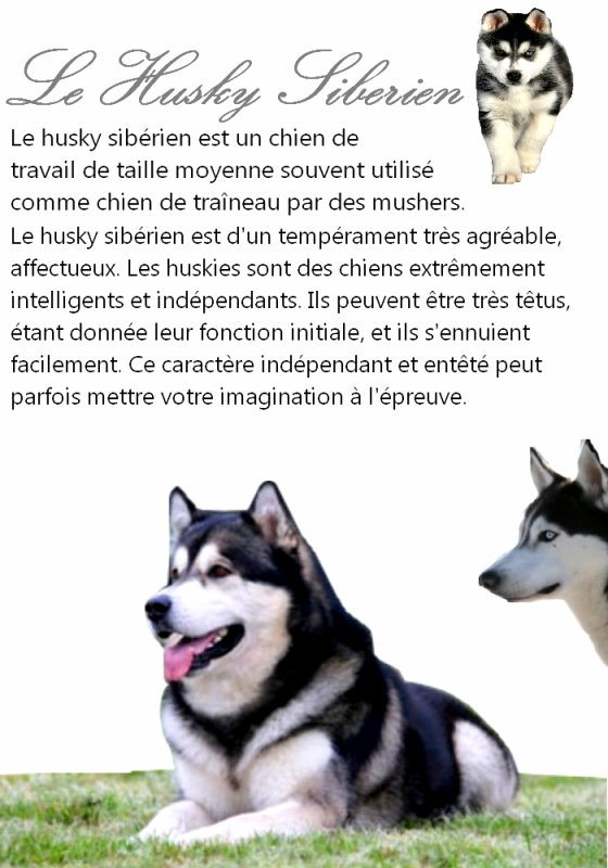 blog de truffe noire berger blanc suisse siberian husky chien loup. Black Bedroom Furniture Sets. Home Design Ideas