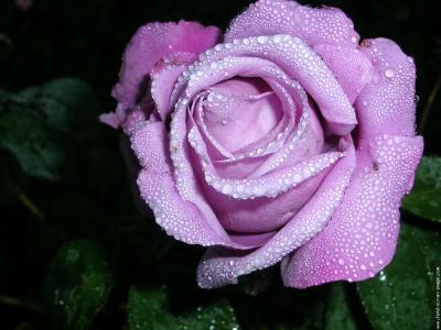 Rose Lavande Le Monde De Cindy