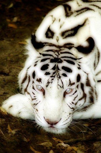 Signification du Tigre Blanc par les Chinois