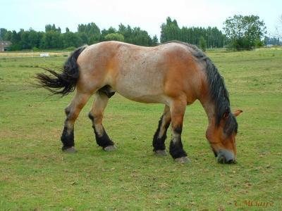 cheval de trait robe