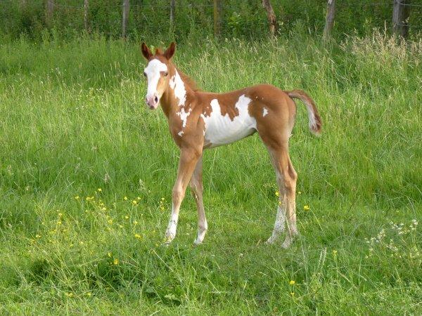 Il est né ce matin,poulain paint horse sorrel overo (a vendre)