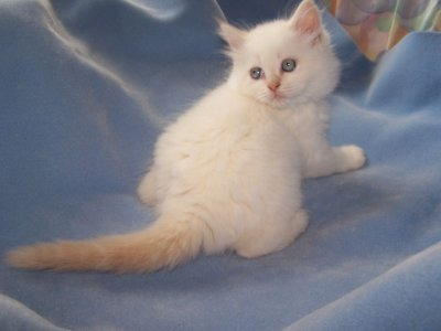 Himalayen flame point de parent rocky et vicky chatterie jeanick elevage de chat persan exotic - Himalayen chat ...