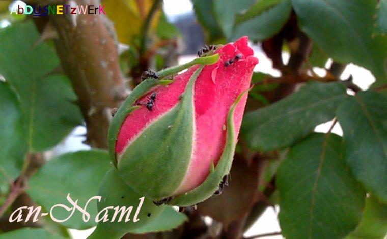 Les fourmis noires et les pucerons, une véritable problématique pour les jardiniers