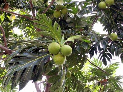 Le fruit à painier