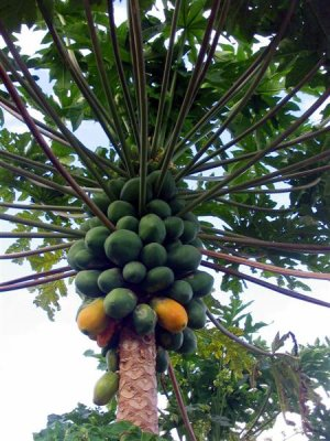 Les papayers