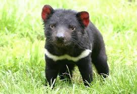Diable de Tasmanie.