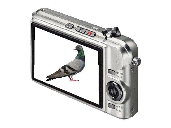 mon ti pigeon