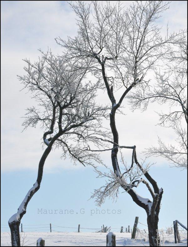 Mes deux arbres préférés sous la neige ...