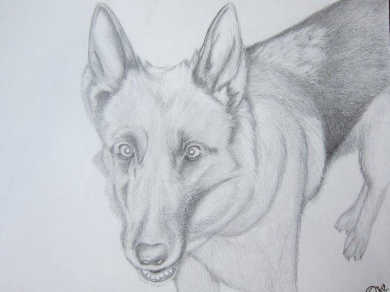 Portrait de coxie un berger allemand